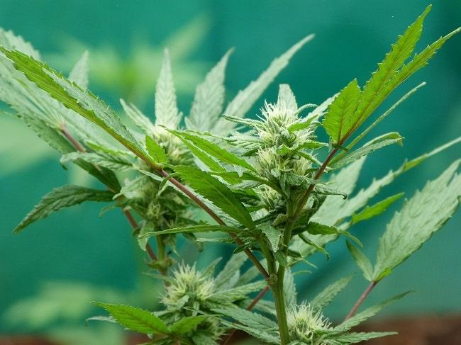 L'extraction des cristaux de CBD se fait à partir du plant de cannabis sativa