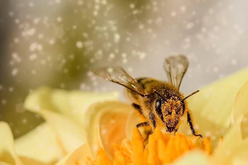 Pollen werden von den Blüten der Pflanzen produziert und ermöglichen deren Fortpflanzung