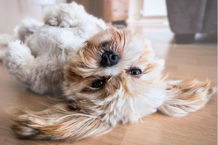 chien heureux et huile de cbd min