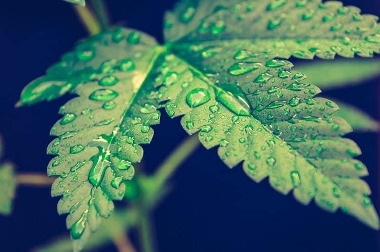 Infuser du cannabis est plus sain - thé au chanvre