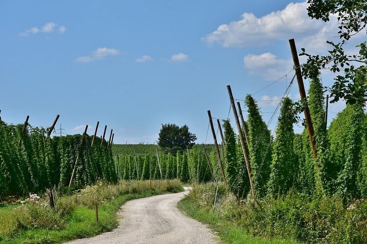 Le piantagioni di luppolo e di canapa a volte sembrano stranamente simili