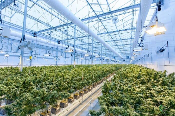 Cultiver un cannabis garanti sans THC risque de transformer l'industrie cannabique