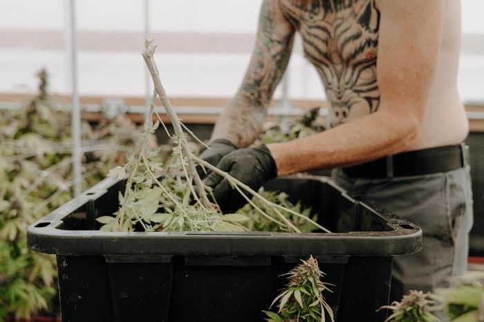 Züchter, Züchter, Vermarkter: die legalen Cannabisberufe