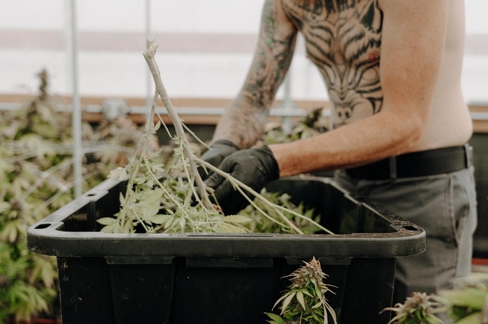 Breeder, grower, marketeur : les métiers du cannabis légal