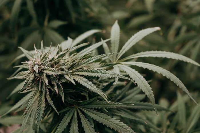 Le CBG (cannabigérol) est l'un des cannabinoïdes du cannabis