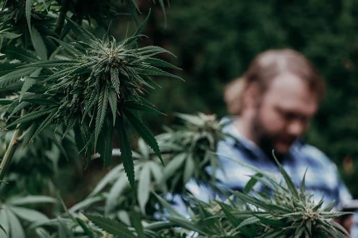 Cannabis war eine der ersten Arten, die angebaut wurden