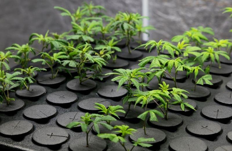 À vue d'œil, impossible de distinguer une bouture de cannabis CBD d'un autre plant