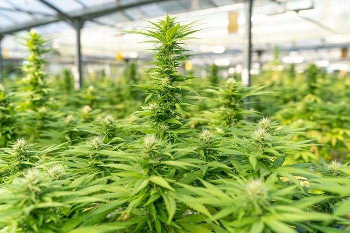 Culture de cannabis légal (sous serre) aux États-Unis
