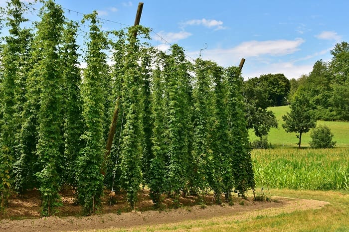 Houblonnière: Hier wächst der Geschmack von Bier