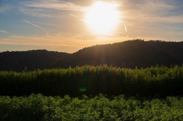 Sonnenwärme kann dazu führen, dass THCA zu THC wird