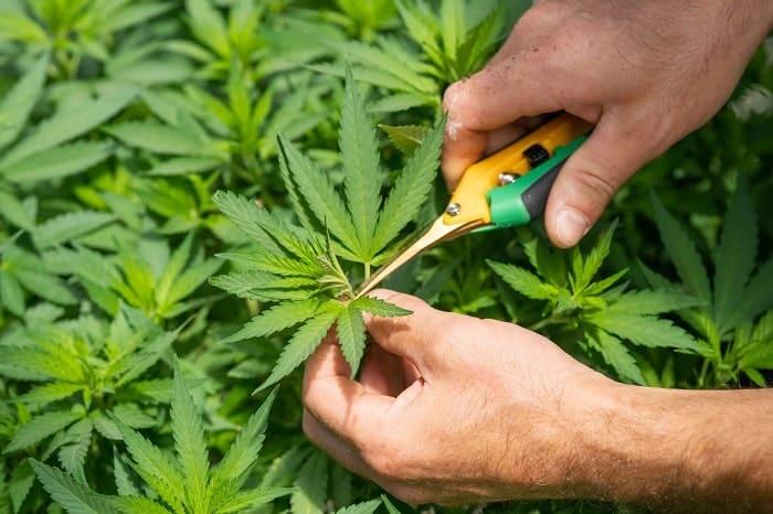 La Cannabis Cup de Spannabis premia las mejores variedades de cannabis, especialmente las más ricas en CBD