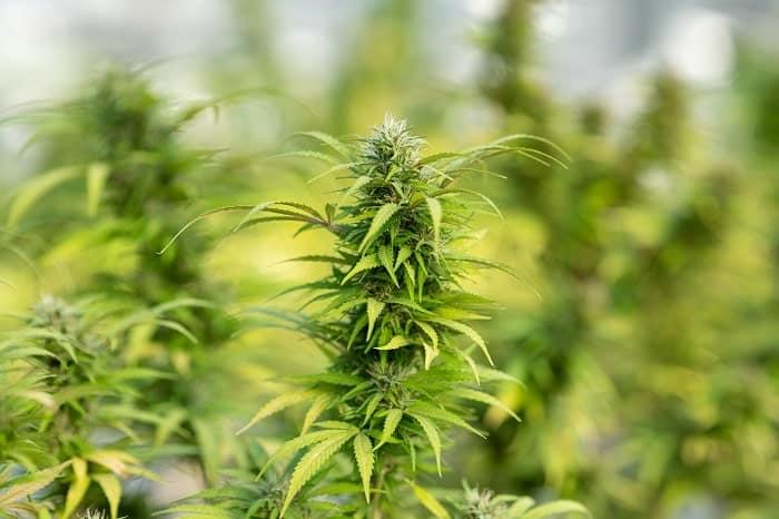 In freier Wildbahn ist Cannabis mit THCA beladen, hat aber noch wenig oder gar kein THC.
