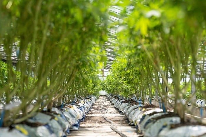 Quel que soit le mode de culture, les nutriments sont amenés directement aux racines du cannabis