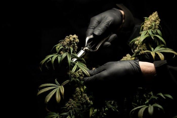 Culture du cannabis CBD en aéroponie : fonctionnement et avantages