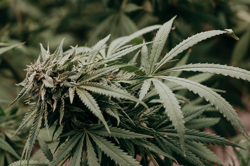 La consommation de cannabis CBD peut modifier l'assimilation de médicaments par notre organisme