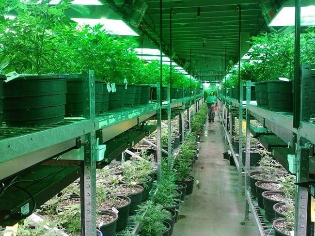 culture cannabis californie min